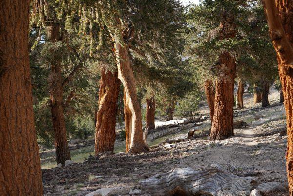 Sierra forest